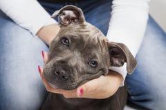 El perro de perrito del pitbull Imagen de archivo libre de regalías