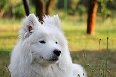 El perro de perrito del samoyedo es relajante en el jardín Foto de archivo libre de regalías