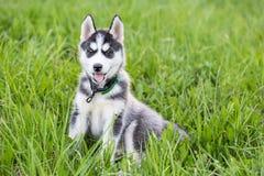 El perro de perrito fornido lindo se sienta en hierba foto de archivo