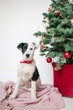 El perro de perrito lindo cerca adornó el árbol de navidad en estudio foto de archivo libre de regalías