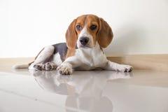 el perro de perrito lindo del beagle Fotos de archivo libres de regalías
