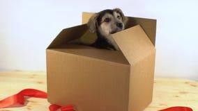 El perro de perrito lindo se arrastra hacia fuera caja del franqueo con la cinta roja almacen de video