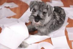 El perro de perrito lindo travieso del schnauzer hizo un lío en casa El perro es hogar solo foto de archivo