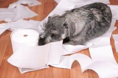 El perro de perrito lindo travieso del schnauzer hizo un lío en casa El perro es hogar solo imagenes de archivo