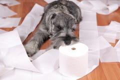 El perro de perrito lindo travieso del schnauzer hizo un lío en casa El perro es hogar solo fotografía de archivo
