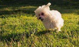 El perro de perrito maltés feliz corre en la hierba imagen de archivo