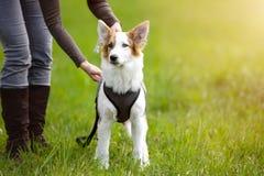 El perro de perrito que se coloca en el prado, correo de la mujer o suelta su animal doméstico fotografía de archivo
