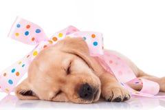El perro de perrito se envuelve en un arco rosado como presente Foto de archivo libre de regalías