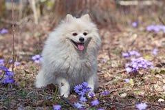 El perro de Pomerania alemán del perro blanco se está sentando en el césped Imágenes de archivo libres de regalías