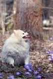 El perro de Pomerania alemán del perro blanco se está sentando en el césped Fotos de archivo