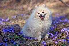 El perro de Pomerania alemán del perro blanco se está sentando en el césped Imagenes de archivo