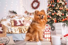 El perro de Pomerania alemán Klein se sienta en una caja con un regalo cerca del árbol de navidad Temas animales foto de archivo libre de regalías