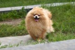 El perro de Pomerania anaranjado adulto de Pomeranian corre en fondo de la hierba verde Foto de archivo