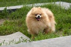 El perro de Pomerania anaranjado adulto de Pomeranian está caminando en fondo de la hierba verde Fotografía de archivo libre de regalías
