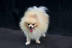 El perro de Pomerania anaranjado adulto de Pomeranian está permaneciendo en fondo negro Fotografía de archivo libre de regalías