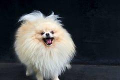 El perro de Pomerania anaranjado adulto de Pomeranian está permaneciendo en fondo negro Imágenes de archivo libres de regalías