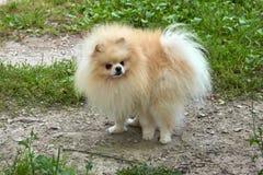 El perro de Pomerania anaranjado adulto de Pomeranian mira en su propia cola Fotos de archivo libres de regalías