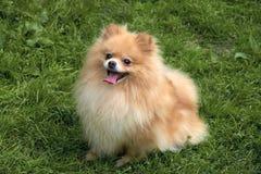 El perro de Pomerania anaranjado adulto de Pomeranian se está sentando en hierba verde Foto de archivo libre de regalías