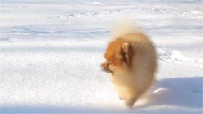 El perro de Pomerania joven y juguetón come nieve y corre alrededor de la cola metrajes