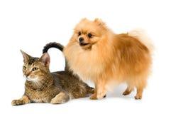 El perro de Pomerania-perro y el gato Fotos de archivo libres de regalías