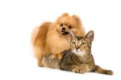 El perro de pomerania-perro y el gato fotografía de archivo