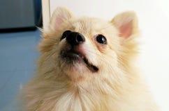 El perro de Pomeranian está mirando para arriba algo Fotografía de archivo