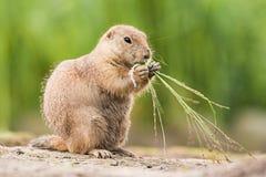 El perro de pradera lindo está comiendo la hierba Imagen de archivo libre de regalías