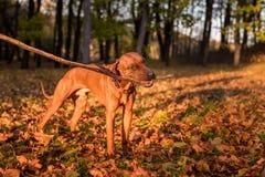 El perro de Rhodesian Ridgeback es de consumición y que juega con la rama fotografía de archivo