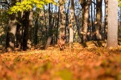 El perro de Rhodesian Ridgeback está corriendo en Autumn Leaves Ground Imágenes de archivo libres de regalías