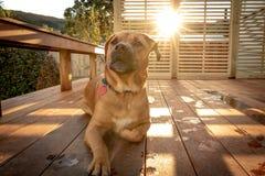 El perro de Rhodesian se sienta en el pórtico como puestas del sol el día de verano imagen de archivo libre de regalías