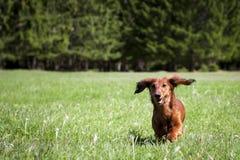 El perro de salchicha joven se ejecuta hacia en hierba verde fresca fotografía de archivo