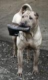El perro de Sharpei con los zapatos juega en su boca Imágenes de archivo libres de regalías