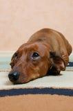 El perro de tejón está triste imagen de archivo libre de regalías