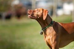 El perro de Vizsla mira hacia el cielo Imagen de archivo