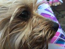 El perro de Yorkie Fotografía de archivo libre de regalías
