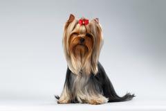 El perro de Yorkshire Terrier con el pelo preparado largo se sienta en blanco imágenes de archivo libres de regalías