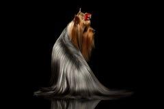El perro de Yorkshire Terrier con el pelo preparado largo se sienta en negro fotografía de archivo libre de regalías