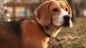 El perro del beagle del perro rastrea las aves almacen de video