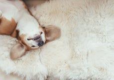 El perro del beagle el dormir miente en la sobrecama de la piel en el sofá foto de archivo libre de regalías