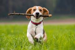 El perro del beagle en un campo corre con un palillo Fotografía de archivo libre de regalías