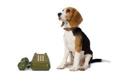 El perro del beagle está esperando el anillo del teléfono en el fondo blanco Imagen de archivo