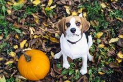 El perro del beagle que se sienta en las hojas caidas acerca a la calabaza que mira fijamente en cámara Fotos de archivo libres de regalías