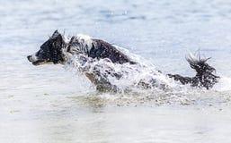 El perro del border collie nada en un lago fotos de archivo libres de regalías