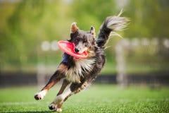 El perro del border collie trae el disco de vuelo Foto de archivo