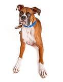 El perro del boxeador con el ojo de las persianas y babea Imagen de archivo libre de regalías