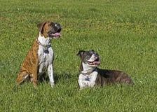 El perro del boxeador y el boxeador mayores del perrito persiguen la reclinación en un campo herboso imagen de archivo