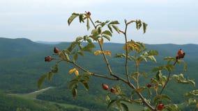 El perro del canina de Rosa subió arbusto contra la perspectiva de las montañas enselvadas y del cielo azul metrajes