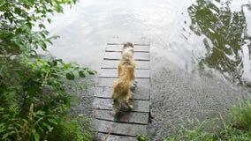 El perro del collie sacude apagado el agua en el embarcadero cerca del río metrajes