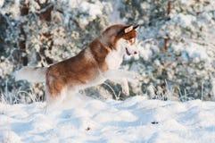 El perro del husky siberiano de Brown salta en la nieve Foto de archivo libre de regalías