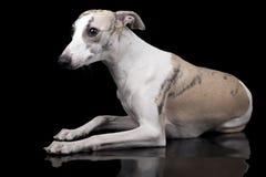 El perro del lebrel Fotografía de archivo libre de regalías